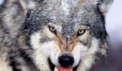 """سعودي يُرهب زوجته بـ""""ذئب مفترس"""" ويخرج من قسم الشرطة بكفالة"""